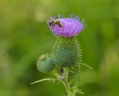 Honigbiene (Apis mellifera) auf Blüte von Gewöhnliche Kratzdistel (Cirsium vulgare, Bayern, Deutschland - SIEF08970