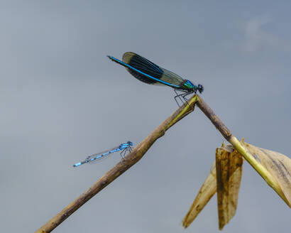Banded demoiselle and common gudgeon on plant at Nature Reserve Isarauen, Bavaria, Germany - SIEF08973