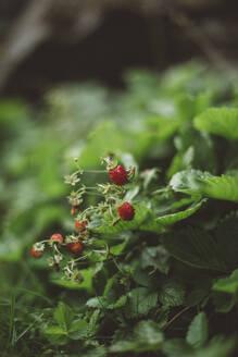 Small wild strawberries on bush - JOHF00004
