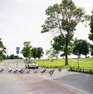 Ducks crossing street in Helsinki, Finland - FOLF10415