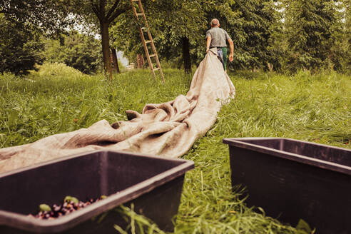 Senior man pulling tarpauling during cherry harvest in orchard - SEBF00162