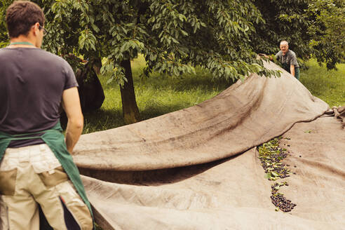 Two men during cherry harvest in orchard, laying out tarpaulin - SEBF00165
