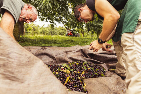 Two men during cherry harvest in orchard, sorting harvested cherries - SEBF00174
