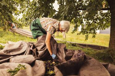 Senior woman sorting harvested cherries in orchard - SEBF00180