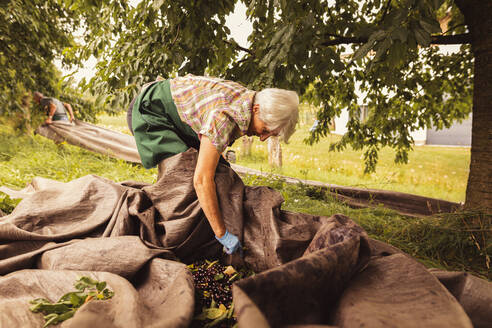Senior woman sorting harvested cherries in orchard - SEBF00180