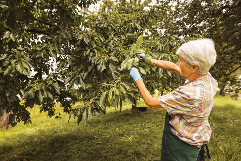 Senior woman picking cherries from tree in orchard - SEBF00183