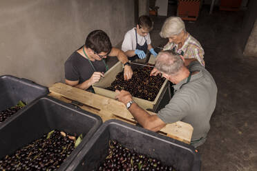People working together sorting harvested cherries - SEBF00192