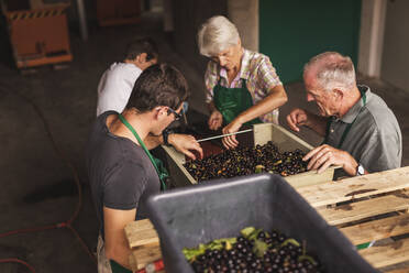 People working together sorting harvested cherries - SEBF00195