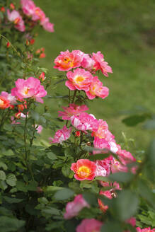 High angle view of pink roses growing on plants in garden, Germany - JTF01290