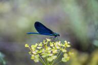 Blue dragonfly on a blossom, Strandja Mountains, Bulgaria - AFVF03913
