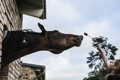 Girl showing tulip to curious horse leaning out barn window - FSIF04430