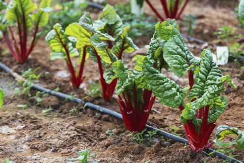 Organic red chard growing in vegetable garden - FSIF04445