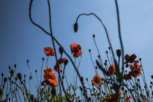 Red poppy flowers against sunny, summer sky - FSIF04451