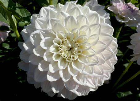 Close-up of white dahlia growing in garden - JTF01322