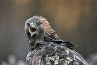 Golden eagle (Aquila chrysaetos), Sweden, Scandinavia, Europe - RHPLF09044
