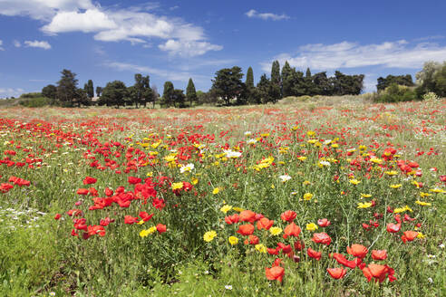 Meadow with wildflowers, near Otranto, Lecce province, Salentine Peninsula, Puglia, Italy, Europe - RHPLF09110