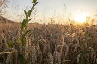 Wheat field in the evening - SEBF00206
