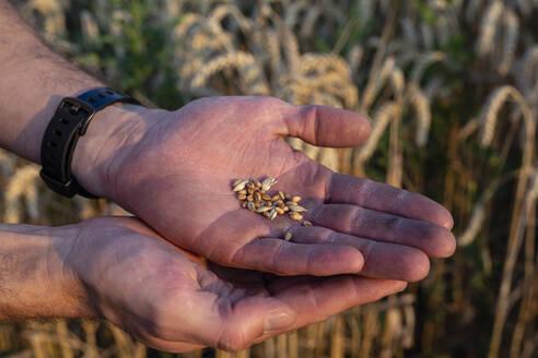 Organic farmer checking harvestability - SEBF00212