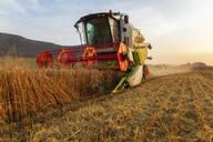Organic farming, wheat field, harvest, combine harvester in the evening - SEBF00227