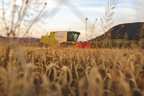 Organic farming, wheat field, harvest, combine harvester in the evening - SEBF00230