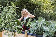 Blond woman harvesting mangold from her raised bed in her own garden - HMEF00509
