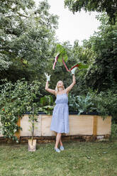 Blond woman harvesting mangold from her raised bed in her own garden - HMEF00518