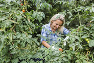 Blond smiling woman harvesting tomatoes in her garden - HMEF00521