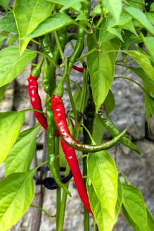 Close-up of chili pepper growing on plant - NDF00975