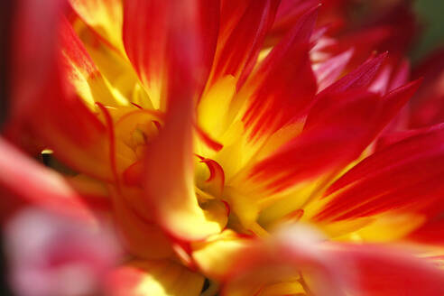 Extreme close-up of red and yellow dahlia - JTF01332