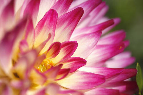 Extreme close-up of dahlia - JTF01335
