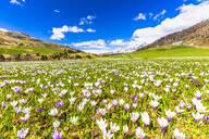Flowering of Crocus nivea in Val Radons (Radons Valley), Albula region, Canton of Grisons (Graubunden), Switzerland, Europe - RHPLF10259