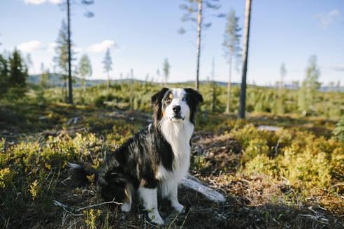 Dog looking at camera - JOHF00637