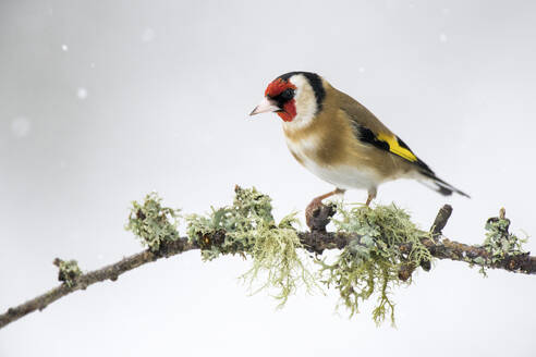 Close-up of gold finch on perching on twig during winter - MJOF01717