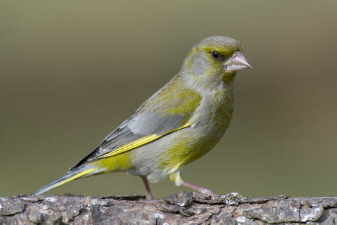 Close-up of green finch perching on tree trunk - MJOF01720
