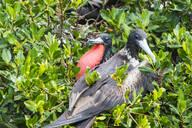 Close-up of Frigates perching on tree at Barbuda, Caribbean - RUNF03216