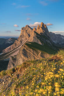 Globeflowers by Seceda mountain in Ortisei, Italy, Europe - RHPLF12217