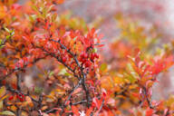 Close-up of barberries growing on plants during autumn - JTF01343