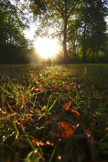 Close-up of autumn leaves on grassy land in park during sunset - JTF01347