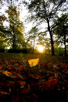Close-up of autumn leaves on land against trees in park at sunset - JTF01350
