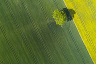 Germany, Mecklenburg-Western Pomerania, Aerial view of lone tree growing in vast wheat field in spring - RUEF02331
