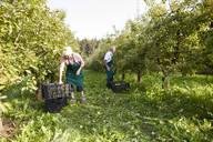 Organic farmers harvesting williams pears - SEBF00245