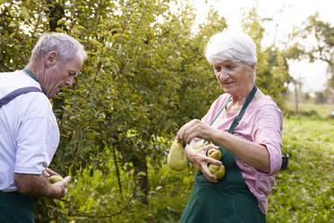 Organic farmers harvesting williams pears - SEBF00248