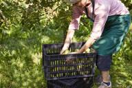 Organic farmer harvesting williams pears - SEBF00251