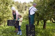 Girl harvesting organic williams pears, helping organic farmers - SEBF00254