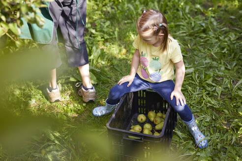 Streuobstwiesen, Deutschland, Baden-Württenberg, Owen, Schwäbische Alb, Bio-Williamsbirnen-Ernte beim Biobauern für lokal gebranten Williamsbrand, kleines Mädchen hilft bei der Ernte - SEBF00257