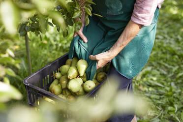 Organic farmers harvesting williams pears - SEBF00260