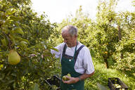 Organic farmer harvesting williams pears - SEBF00263