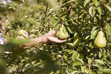Organic farmer harvesting williams pears - SEBF00269