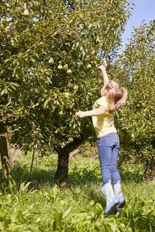 Streuobstwiesen, Deutschland, Baden-Württenberg, Owen, Schwäbische Alb, Bio-Williamsbirnen-Ernte beim Biobauern für lokal gebranten Williamsbrand, kleines Mädchen hilft bei der Ernte - SEBF00275