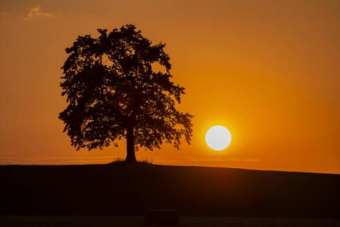 Eiche im Sonnenuntergang, M�nsing, Oberbayern, Bayern, Deutschland, - LHF00713